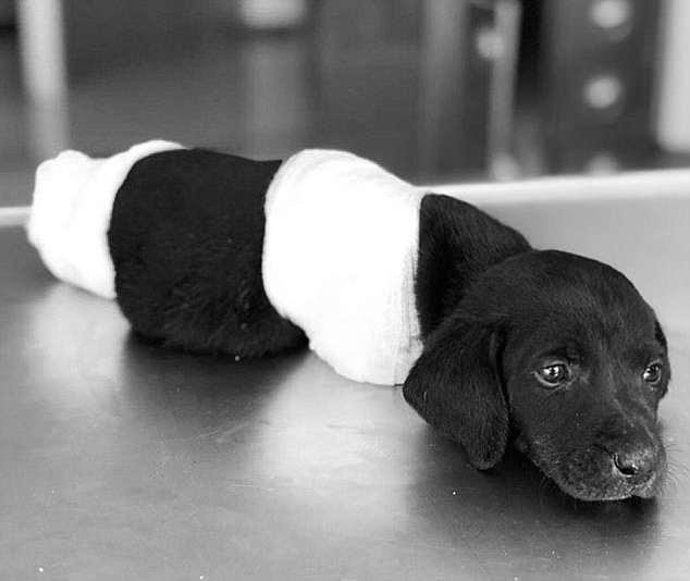 '흉기'에 네 다리와 꼬리 잘린 강아지 발견 / 데일리메일