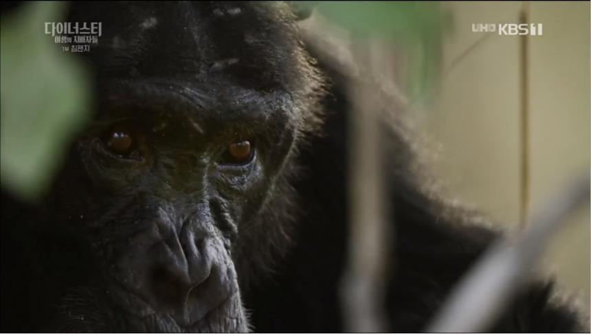 KBS1 '설 특집 다큐멘터리 다이너스티 야생의 지배자들 - 제1편 침팬지' 방송 캡처