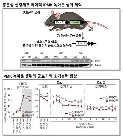 이노시톨 대사 효소(IPMK)를 제거한 생쥐의 공포기억 소거 연구. 유전자 녹아웃 기술로 이노시톨 대사 효소를 제거했다. 그 결과 소리·전기자극 공포기억 소거 능력이 현저하게 향상했다. [한국연구재단 제공=연합뉴스]