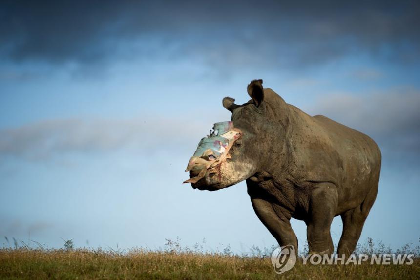 밀렵꾼에 뿔이 잘린 남아프리카공화국 야생 코뿔소[EPA=연합뉴스]
