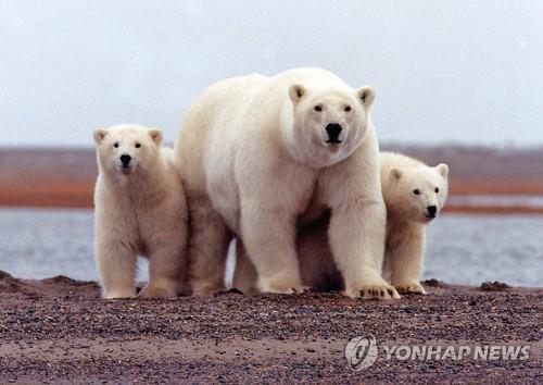 북극곰[연합뉴스 자료사진]