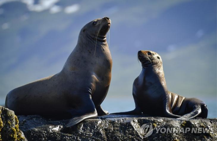 멸종 위기종인 바다사자[타스=연합뉴스 자료사진]
