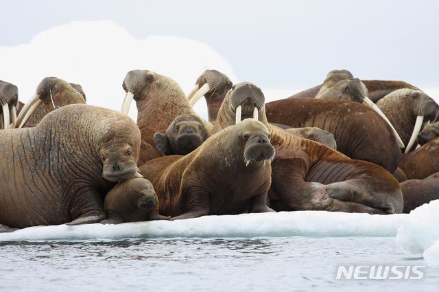 미국 알래스카 주민들의 생계를 의존하고 있는 태평양 해마들의 무리가 바다위에 떠 있는 유빙 위에서 휴식을 취하고 있다. 최근 해수온도상승으로 알래스카의 바다 얼음이 급속히 사라지면서 주민들은 수십 킬로미터 밖의 위험한 지역으로 사냥을 나갈 수 밖에 없게 됐다. / AP/뉴시스
