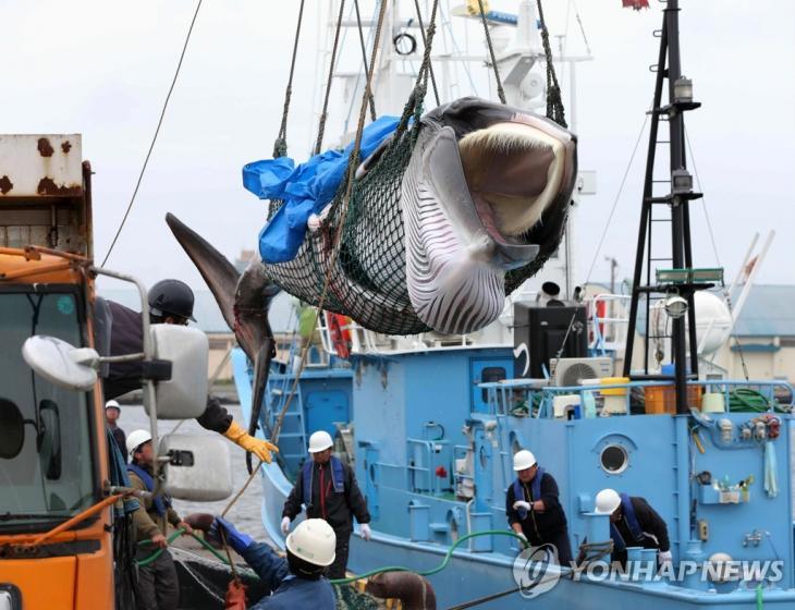 2019년 7월 1일 일본 홋카이도 구시로 항에서 포획된 밍크고래가 트럭으로 옮겨지고 있다. [EPA=연합뉴스]