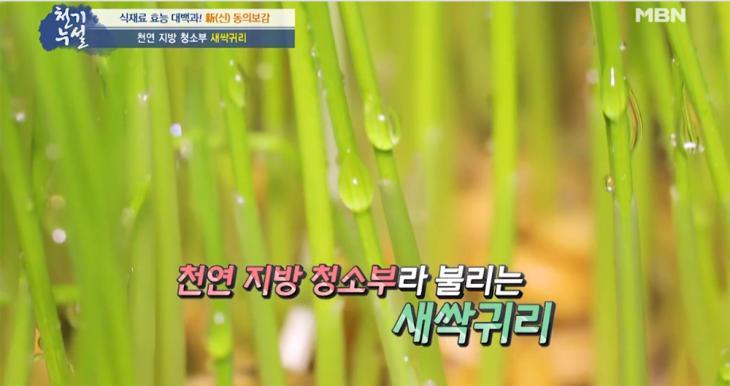 새싹귀리 / MBN '천기누설' 방송 캡처