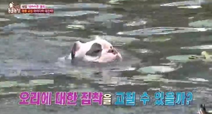 '동물농장' 오리만 쫓아다니는 개가 있다?