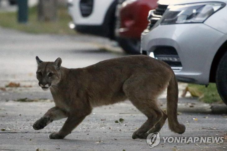 24일(현지시간) 칠레 산티아고 거리에 나타난 퓨마, 연합뉴스