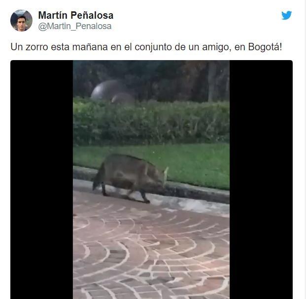 콜롬비아 보고타에 나타난 여우, 트위터