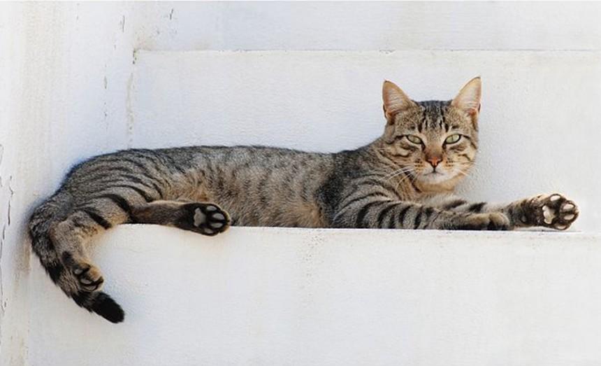 고양이 / 위키피디아